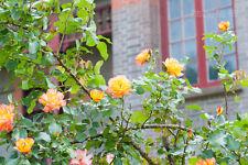 100 Golden Rosa multiflora Seeds Climbing Roses Changmi Garden Flowers PT6