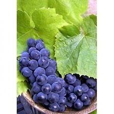 Ribera Uva Semillas-Hardy, Deliciosa Frutos, Floración