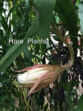 Queen Of The Night Brahma Kamal ,Orchid cactus flower Plant  3 Leaf Cuttings.