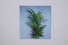 10 Semillas Chamaedorea Elegans Palma De Montaña Palma Plantas # 6