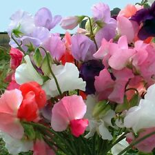 Flower - Sweet Pea - Mammoth Mixed - 35+ Seeds