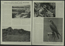 Gyr Falcons Wild And Trained 1958 2 Page Photo Article