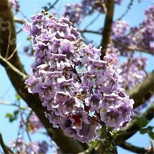100pcs Worlds Fastest Growing Tree Princess Tree Paulownia Tomentosa Seeds