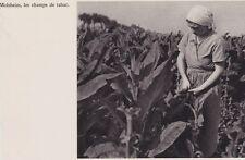 1950  --  TRAVAIL AU CHAMP DE TABAC A MOLSHEIM   3D758