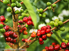 5 lbs. Colombian Supremo Valle de Cauca Estate Raw Unroasted Green Coffee Beans