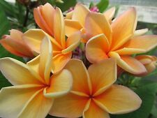 SEEDS 3 graines FRANGIPANIER ORANGE (Plumeria Rubra ORANGE CARAMEL) SEMILLAS