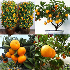 5 Seeds Edible Fruit Mandarin Citrus Orange Bonsai Tree Seeds Plants Home Garden