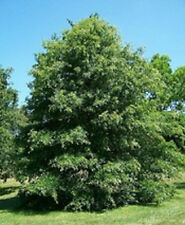 Pin Oak Tree Seeds