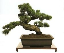 Everything You Need Know About Growing Bonsai Trees Karate Kid Learn Bush CD DVD