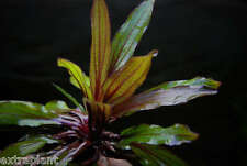 Echinodorus Horemanii Red - RARE Amazon Sword Live Aquarium Freshwater Plants