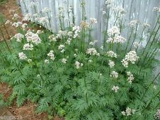 500  Valerian Plant Seeds , Highly Prized Medicinal Herb , Hardy Perennial