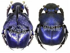 BEETLES : SCARABAEIDAE: PHANAEUS QUADRIDENS PAIR (MEXICO)