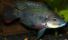 20 Live Mozambique Tilapia fingerlings (1 to 1.5 inch)