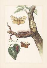 Schwammspinner Lymantria dispar Farbdruck von 1959 Nachtfalter Schmetterlinge Ra