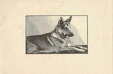 IMAGE - LITHOGRAPHIE ILLUSTRATEUR C.R ANIMAUX CHIEN BERGER  FORMAT 16 x 24 cm