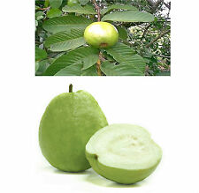 3 Thai White Guava Seeds Tasty Sweet Tropical Fruit