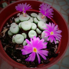 100 Rare Mixed Lithops Seeds Living Stones Succulent Cactus Organic Seeds Plant