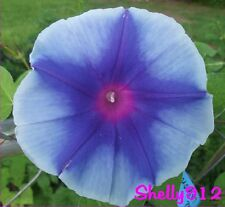 Blue Lagoon Japanese Morning Glory Seeds - ipomoea nil - Heavy Bloomer! RARE!