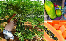 "SEEDS - Low-Density ""Pusa Giant"" Papaya, Sweet Pawpaw, Natural Dwarf Habit Tree"