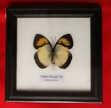 REAL YELLOW ORANGE TIP BUTTERFLY TAXIDERMY INSECT PICTURE FRAME ENTOMOLOGY