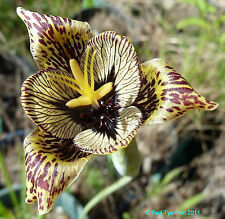 Tigridia vanhouttei |TIGER-Flower Iris Lily | Hard-2-Find BULB SEEDS | 40+ Seeds