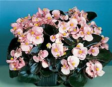 30+ GORGEOUS BEGONIA PINK COCKTAIL BRANDY FLOWER SEEDS  /  ANNUAL