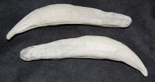"""2 Imitation Bear Teeth. Resin. Tooth. over 6"""" Long KODIAK Grizzly Claws Fanges"""