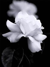 NATURE BLACK WHITE ROSE PETAL FLOWER POSTER ART PRINT PICTURE BB98A