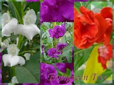 Impatiens Balsam (300 SEEDS) Mix of rose, white, scarlet and violet.Balsamina