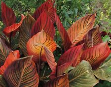 "Beautiful Foilage Canna Lily, ""Tropicanna"" (1) Nice Sized Root, Plant, Rhizome"