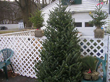 100 * FRASER FIR SEED * CHRISTMAS TREE ** EVERGREEN * FAST GROWING TREES
