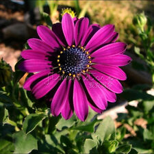 20 PURPLE DAISY Seeds  Houseplants Decorative balcony TT339