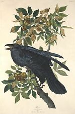 Audubon Reproductions: Birds of America - Raven - Fine Art Print
