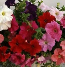 Petunia Seeds 50 Pelleted Seeds Supercascade Mix Super Cascade