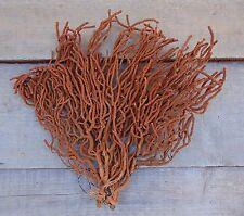 B3) Nice 11X11 Rare ORANGE (Brown) SEA FAN Gorgonian Soft Coral Seafan in USA