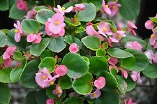 Begonia seeds~ Passionate Pink Flowers