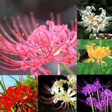 5 PCS Bulbs Lycoris Radiata, Spider lily, Lycoris Bulb Seeds Garden Flower Decor