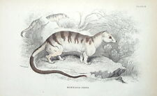 BANDED PALM CIVET Jardine hand coloured antique animal print 1843