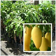 "Mango Tree plant grafted ""Nam Dokmai Si Thong"" Very Delicious Tall 15-20"""