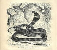 Stampa antica SERPENTE COBRA REALE Ophiophagus hannah 1891 Old antique print