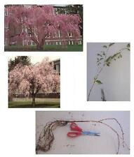 Weeping Cherry Flowering Tree, 20+in,- Hefty/Larger/Bareroot - Ready to Ship Now