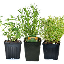 Organic Herb Plant Collection Thyme, Oregano, Rosemary 3 Potted Plants Non-GMO