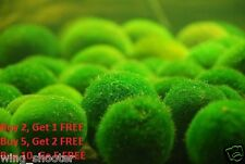 Large Marimo Moss Ball Live Cladophora Moss Aquarium Shrimp Plant