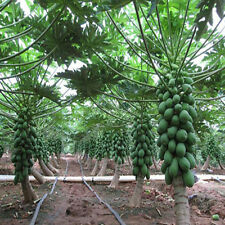 Fruit 8Pcs Plants Seeds Home Garden Maradol Papaya Seeds Vegetable Tree Outdoor