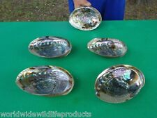 5 piece lot of 5-6 inch Natural Green Abalone Shells Seashell sheshells (S)