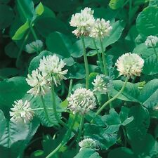 Green Manure Seeds - White Clover - 50gms