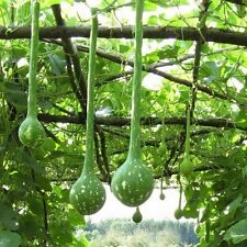 Gourd Dipper Long Handle Seeds (Lagenaria siceraria) 15+Seeds