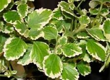 Variegated Swedish Ivy (Candle Plant) Starter Plant