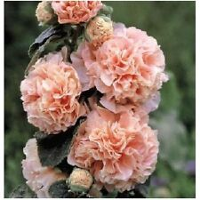 6 graines de ROSE TREMIERE DOUBLE SAUMON(Alcea Rosea)X152 SALMON HOLLYOCK SEEDS