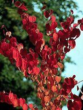 toller Duft, schöne Farben, auch Bonsai: Lebkuchenbaum